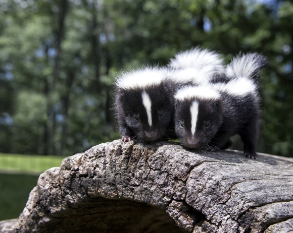Pair of baby skunks, standing side by side on a fallen log.